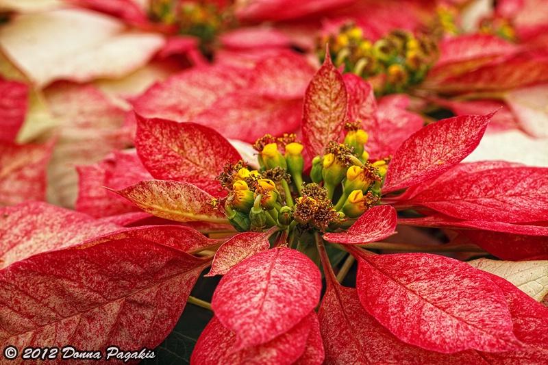Multi Colored Poinsettias