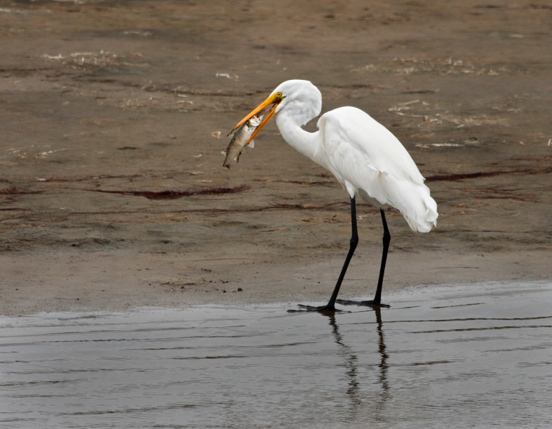 Great Egret's Catch