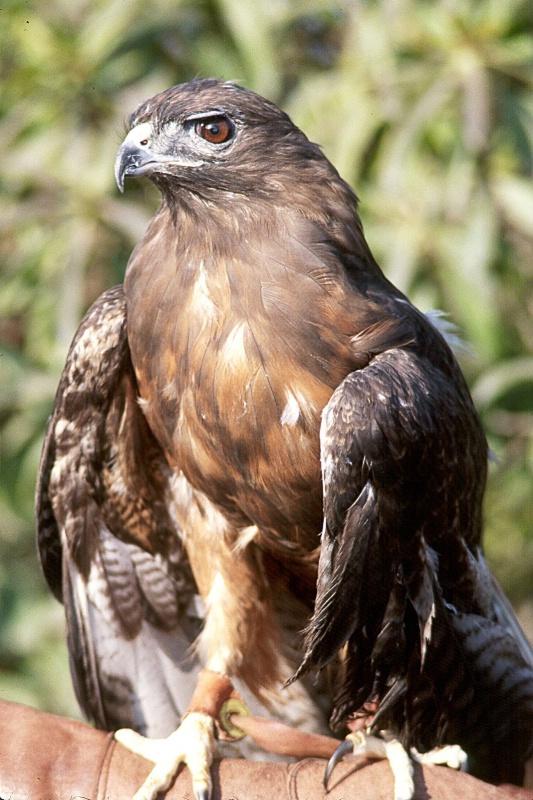 Red Tailed Hawk, S.B.W.E., California