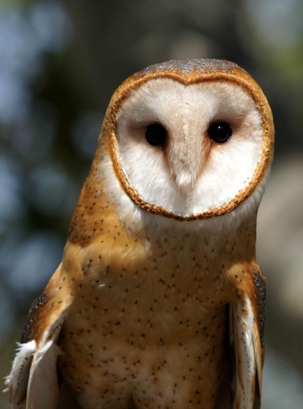 Barn Owl, S.B.W.R., California