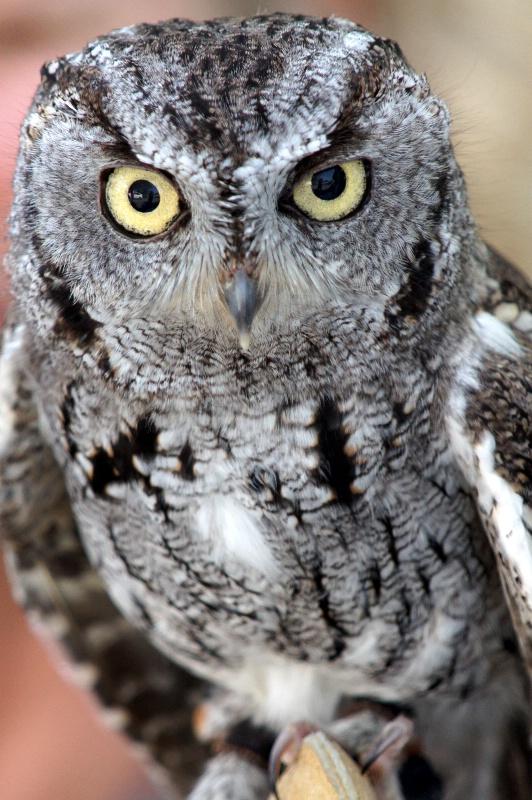 Western Screech Owl,S.B.W.R., California