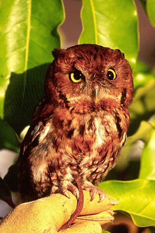 Eastern Screech Owl, S.B.W.R., California