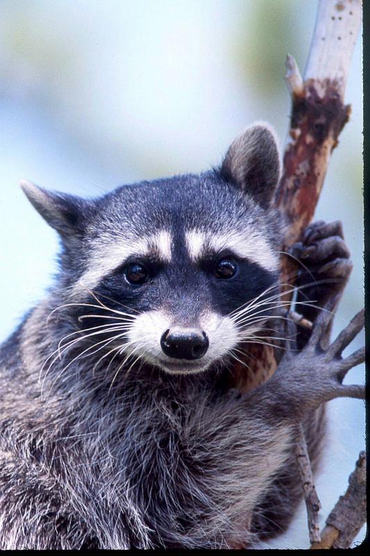 Raccoon, S.B.W.R., California