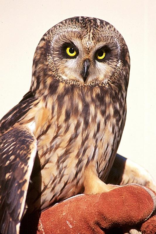 Short Eared Owl, S.B.W.R., California