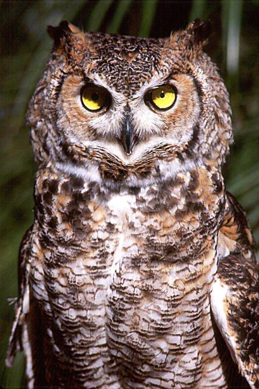 Great Horned Owl, S.B.W.R., California