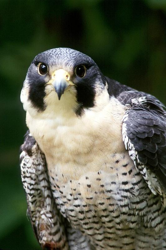Peregrine Falcon, S.B.W.R., California