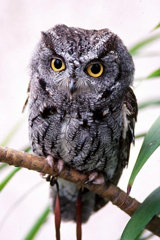 Western Screech Owl, S.B.W.R., California