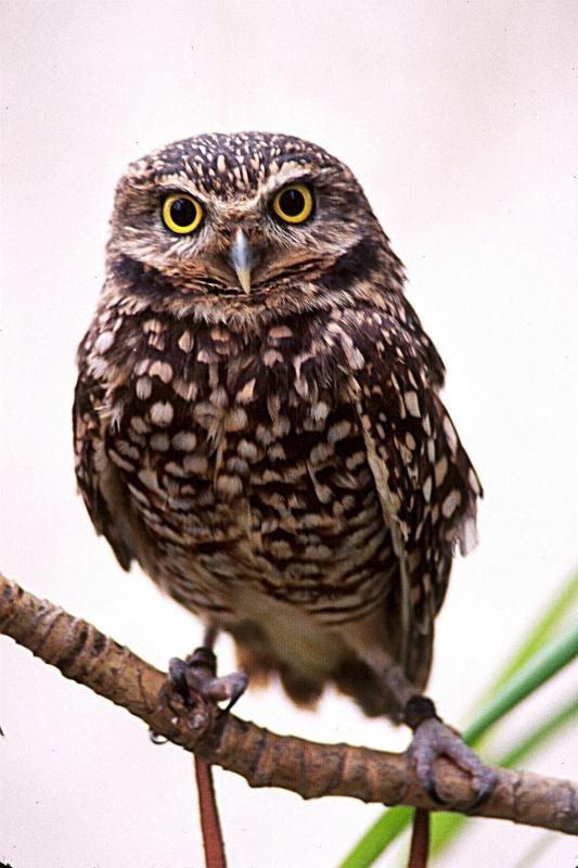 Burrowing Owl, S.B.W.R.,California
