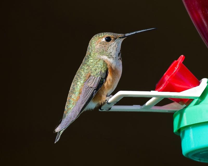 Rufous Hummingbird - Dec 11th, 2011