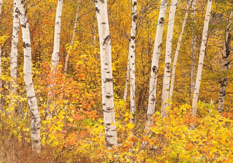 Yellow &Birches