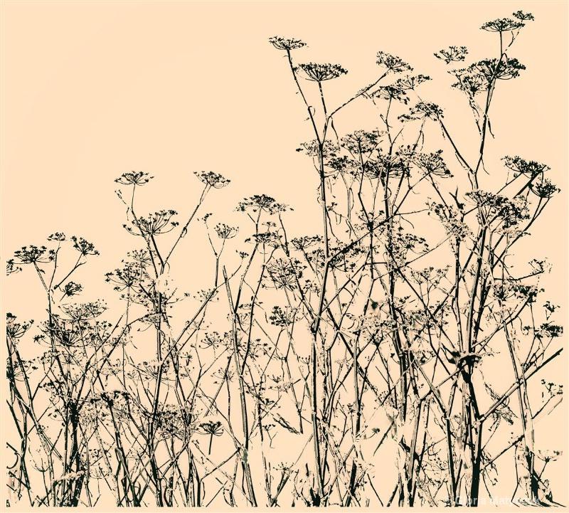Weed silhouette, Pt. Reyes, California