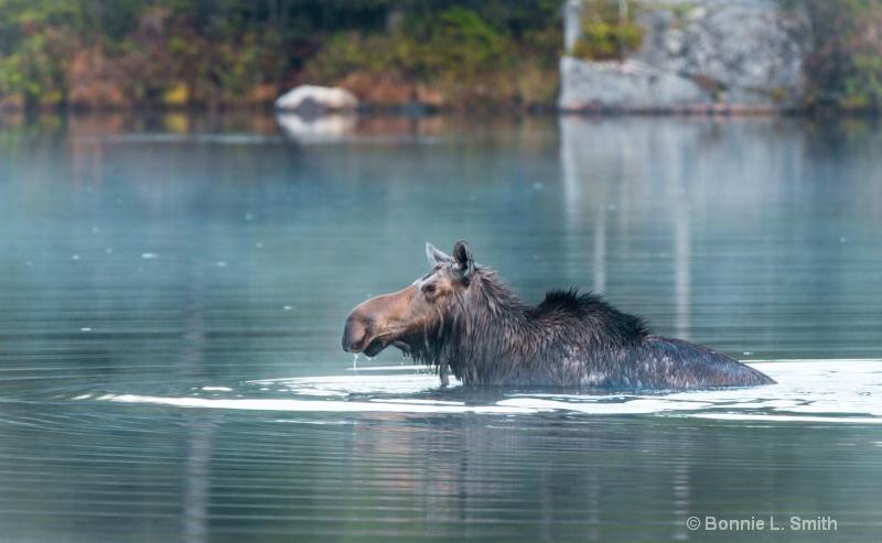 cow moose 2