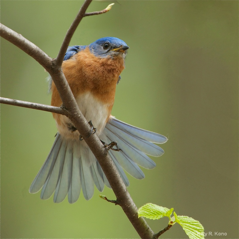 Bluebird Tail Stretch