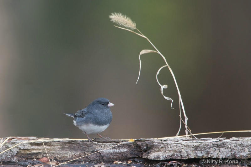 junco with grass