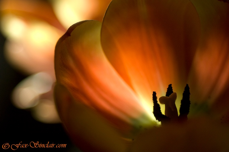 Tulips in Morning