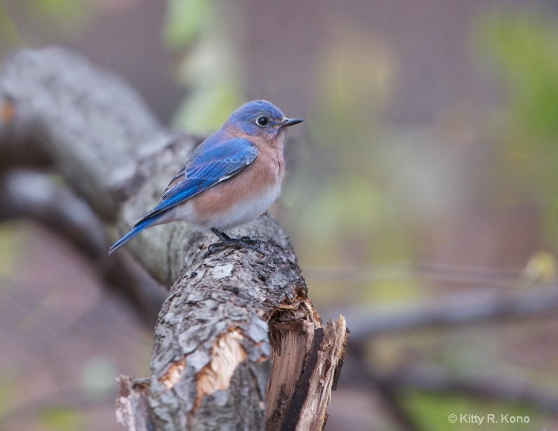 Bluebird in the Woods