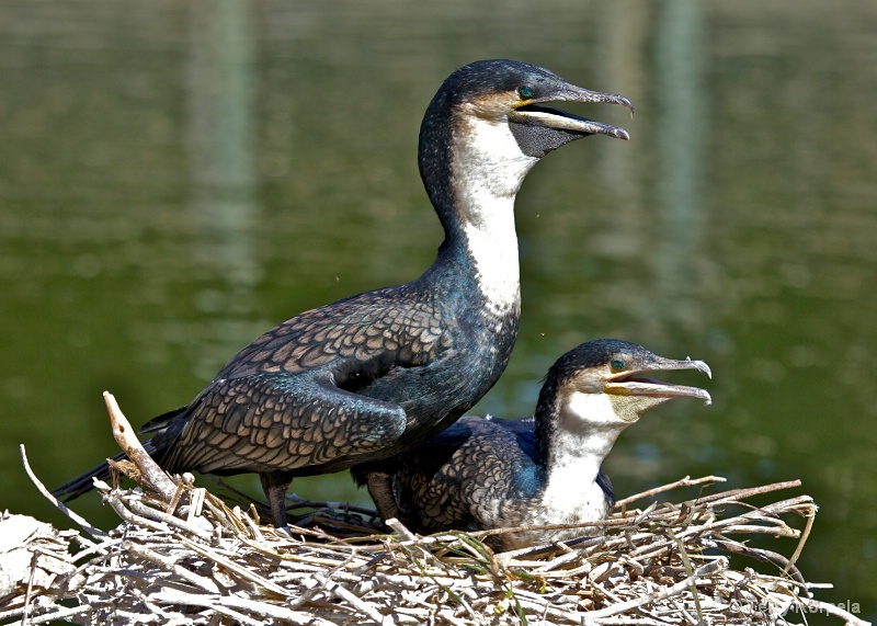 White-Necked Cormorants Nesting