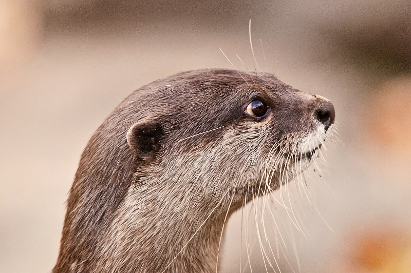 Profile of an Otter