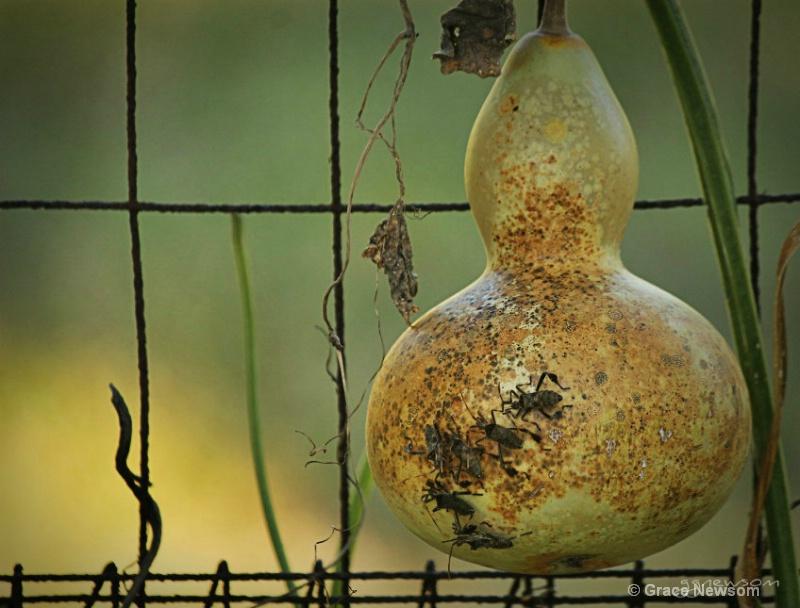 Beetle Gourd