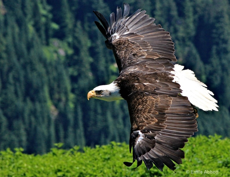 Canadian Great Bald Eagle