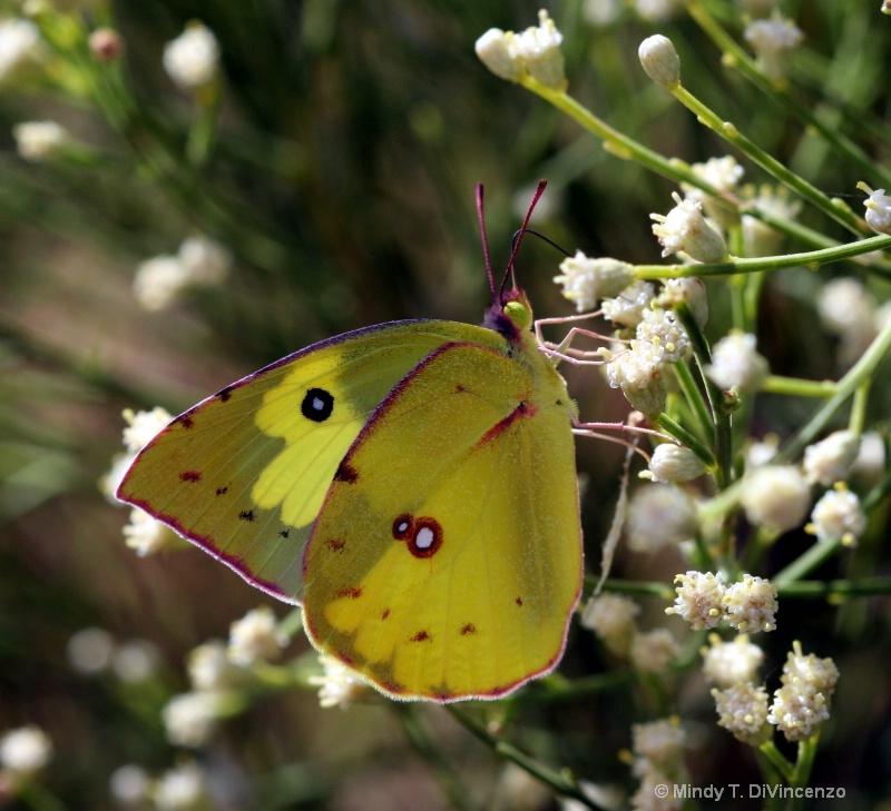 Mariposa - Amarillo 1