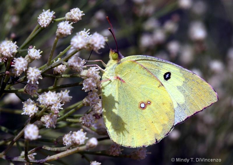 Mariposa - Amarillo 2