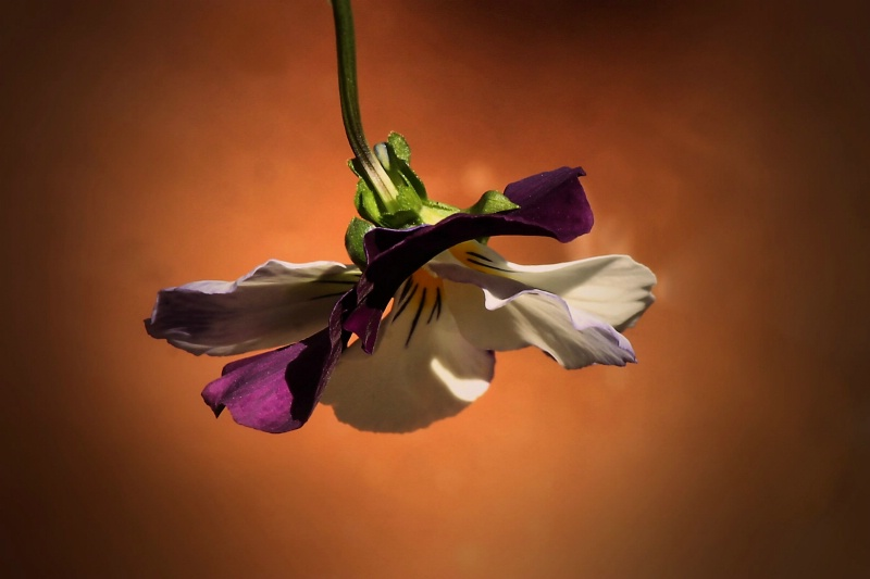 Pansy droop