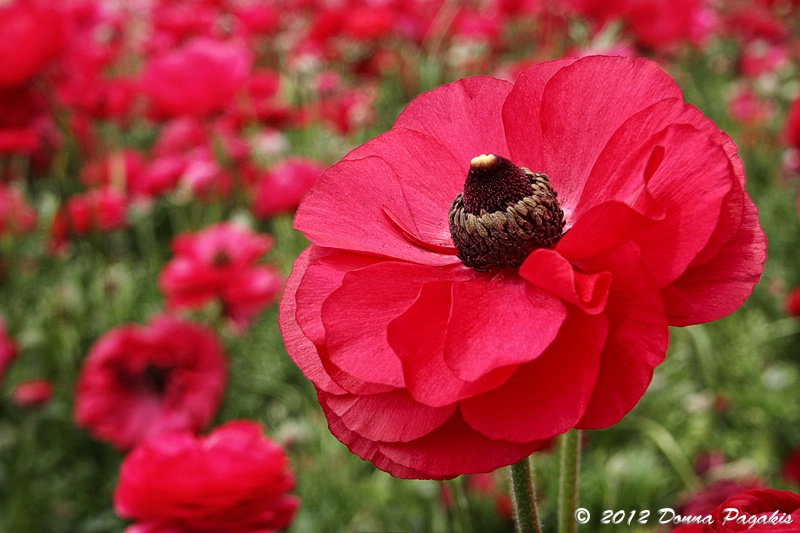 Blushing Ranunculus
