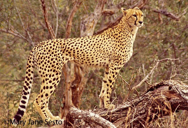 F.Cheetah15, South Africa