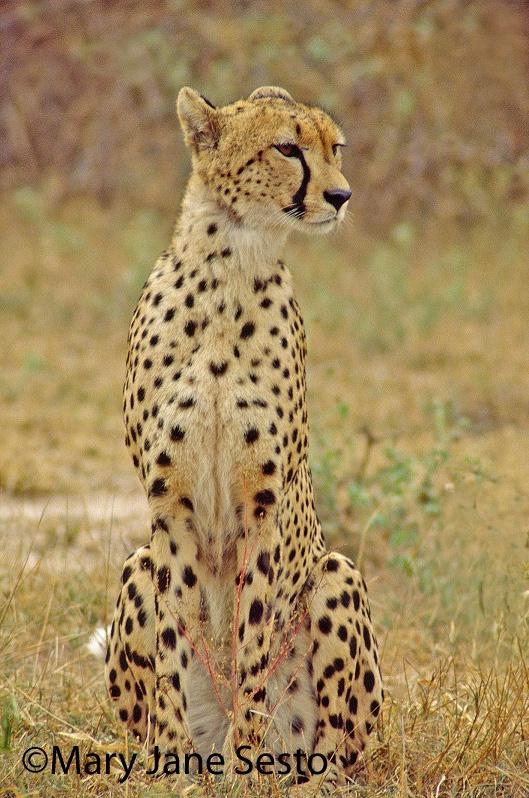 F. Cheetah, South Africa