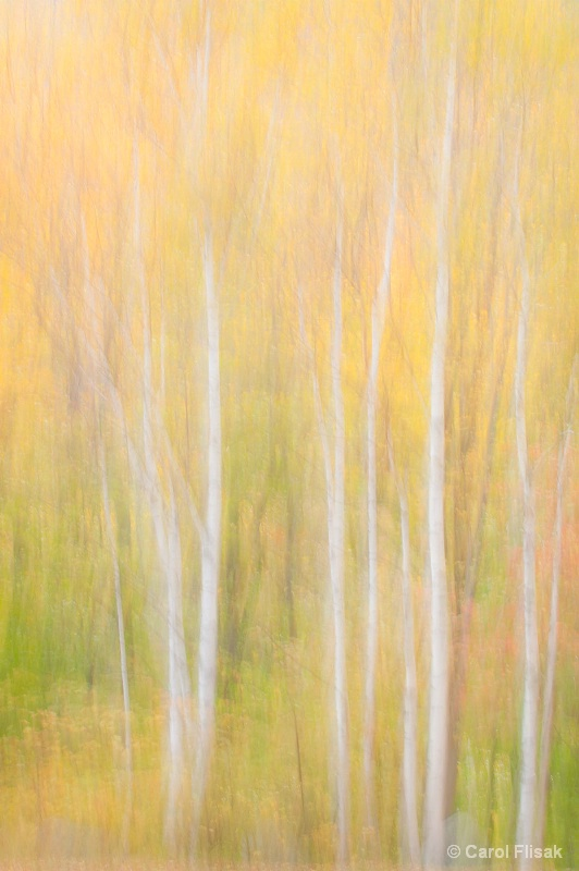New Hampshire Birch Abstract