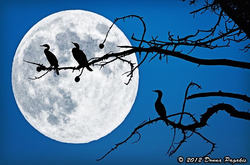 Three Moonlit Cormorants