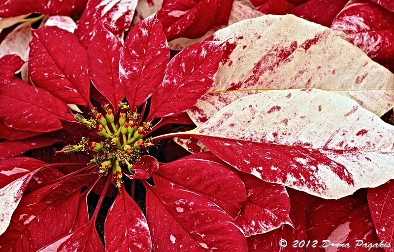 Red Glitter Poinsettias