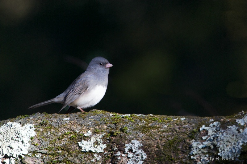 Black Eyed Junco in a Tree