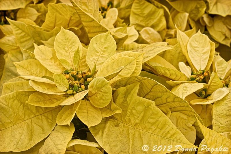 Yellow Poinsettias