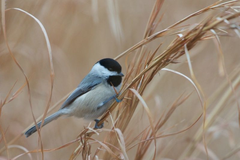Black Capped Chickadee in the Weeds
