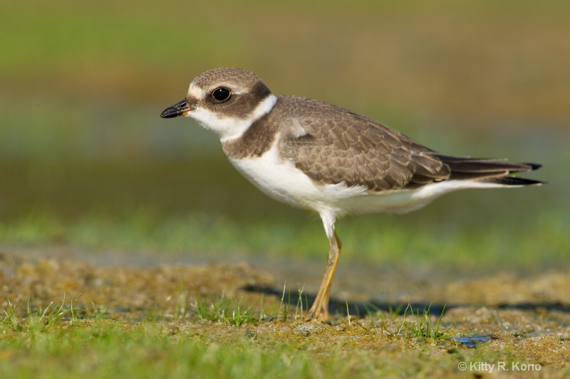 Juvenile Semipalmated Plover