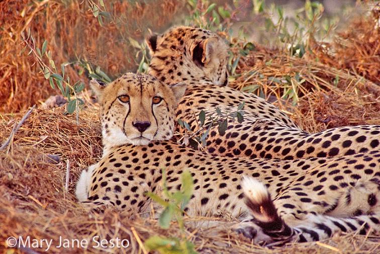 Cheetah Brothers, Botswana