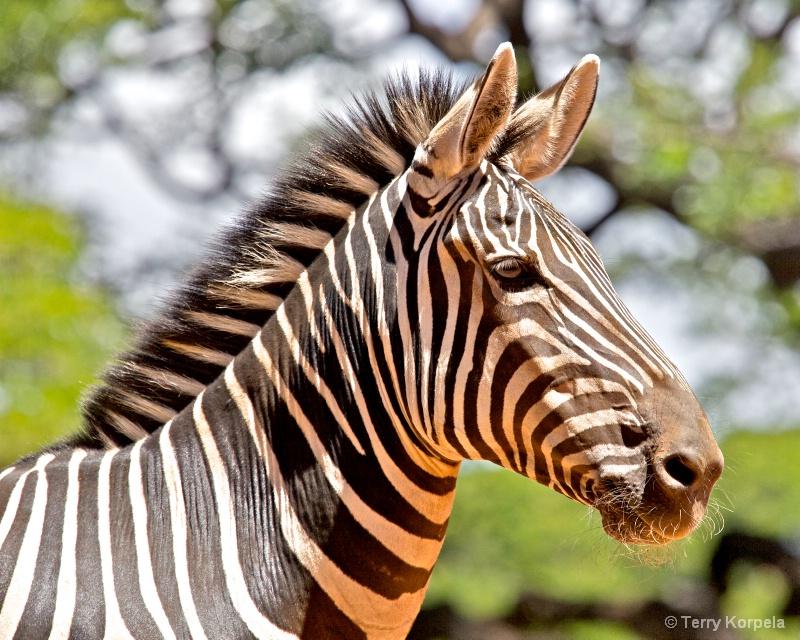 Zebra Honolulu Zoo