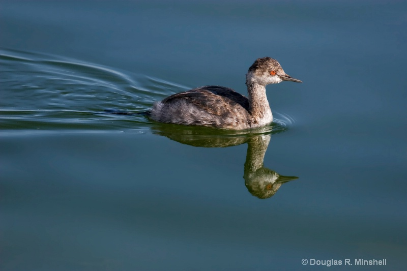 Eared Grebe on the Water