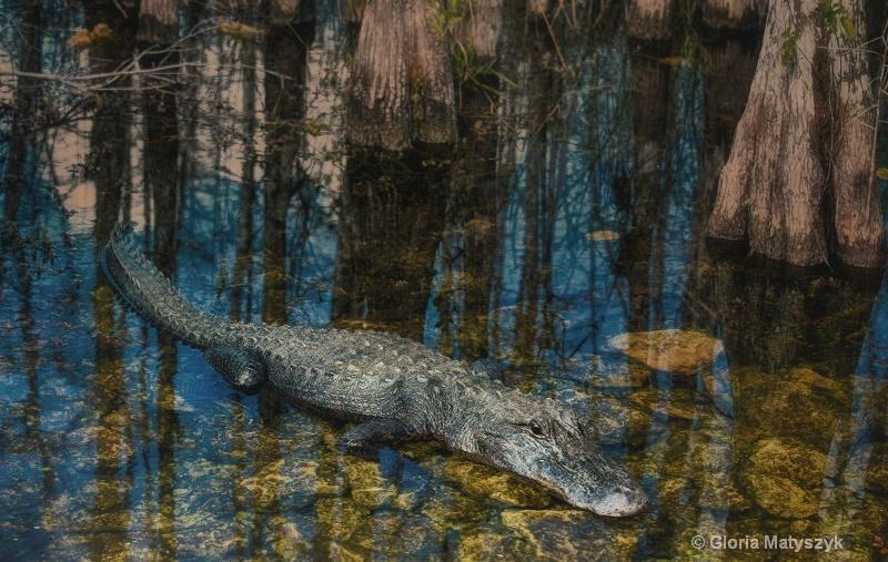 Gator in the Florida Everglades