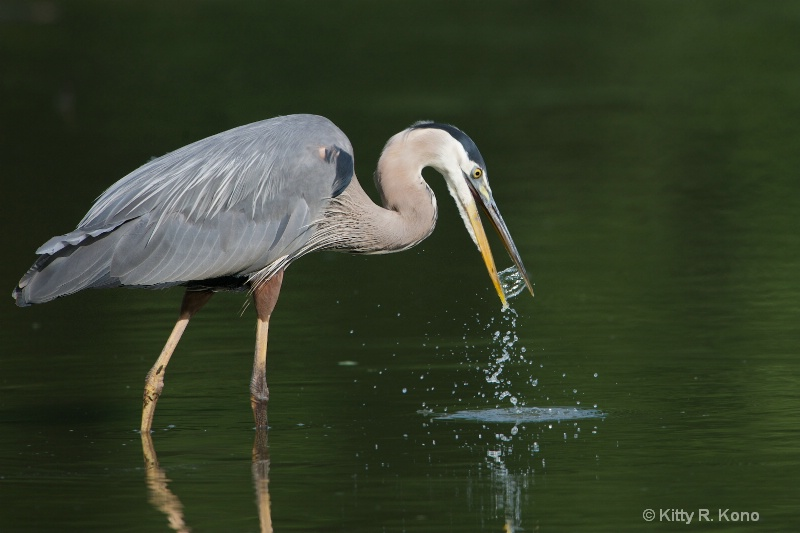 Great Blue Catches Some Water
