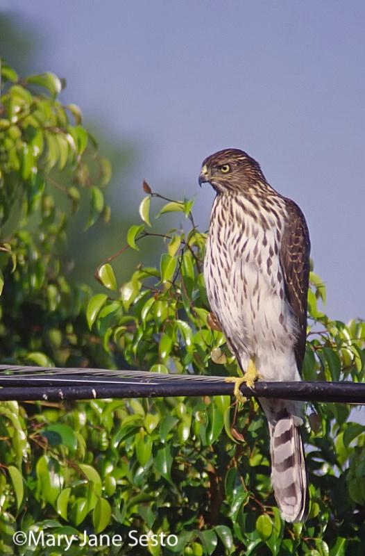 Cooper's Hawk, California