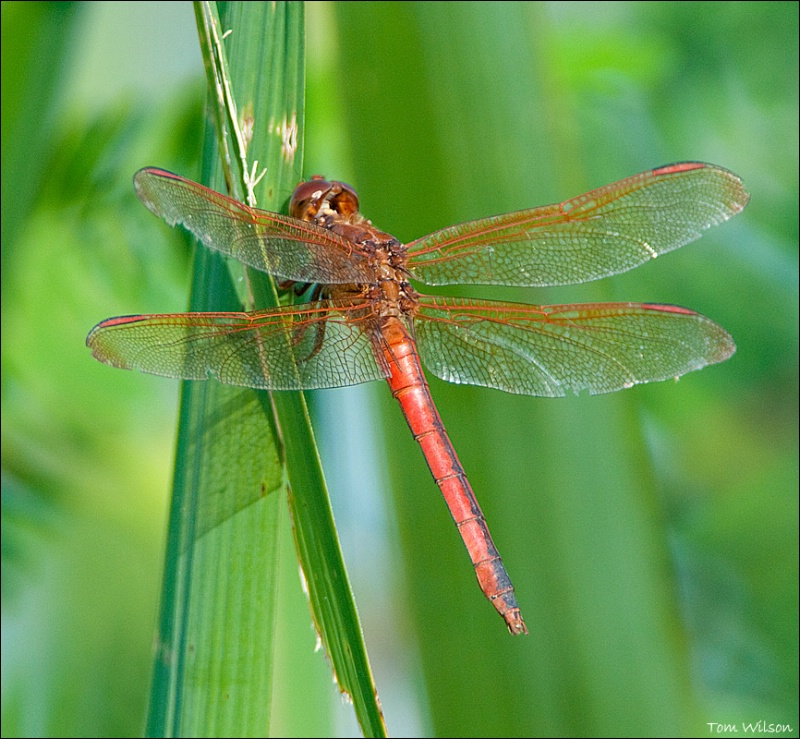 Male Needham's Skimmer