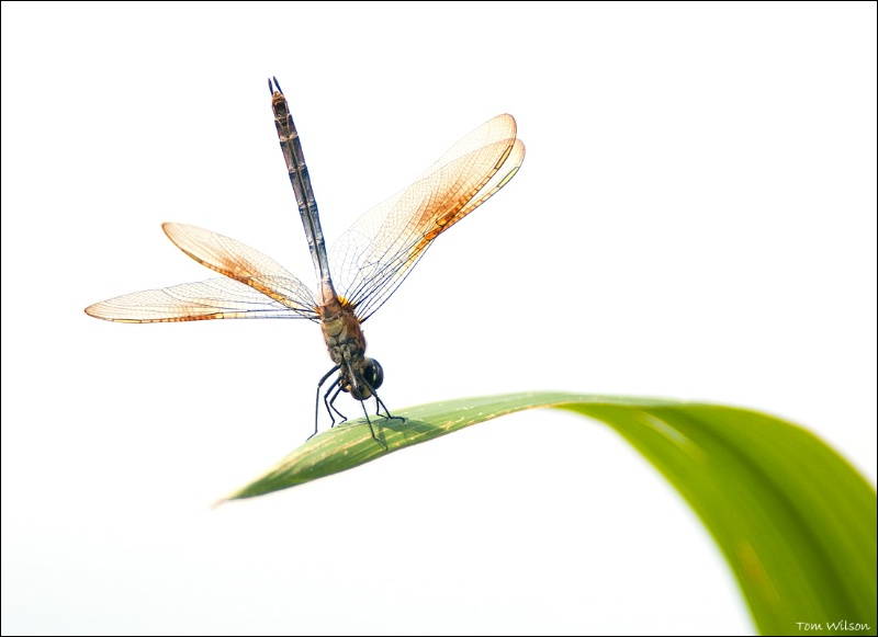 Four-spotted Pennant on Bullrushes