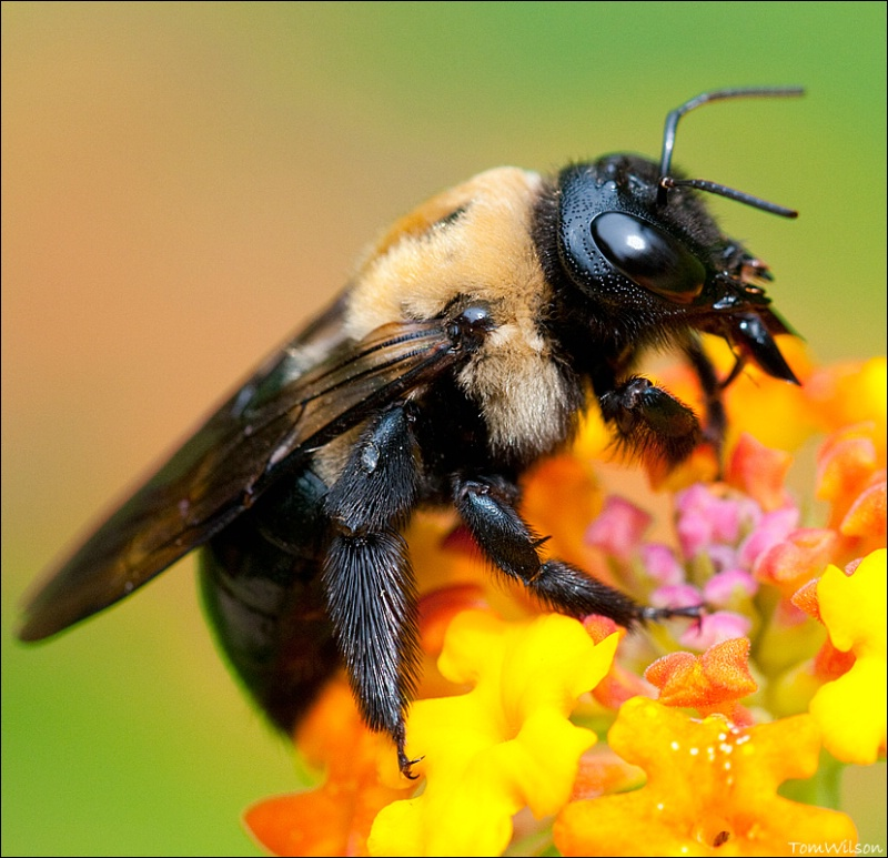 Bee on Lantana