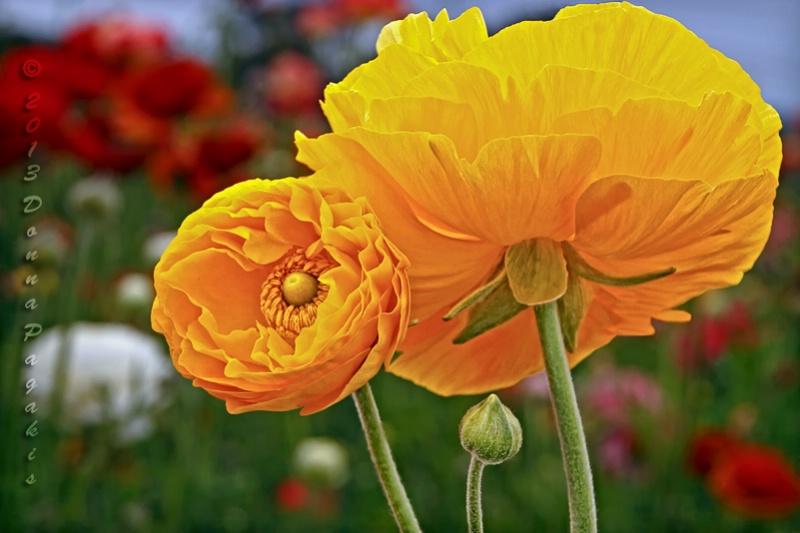 Radiant Ranunculus