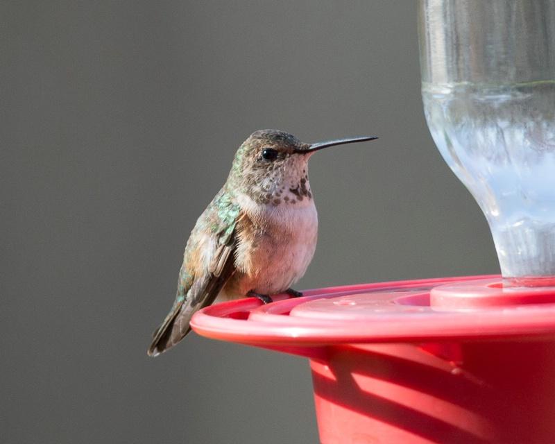 Rufous Hummingbird - Nov. 29th, 2012