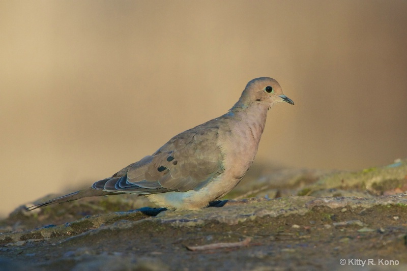 Morning Dove in Evening Light