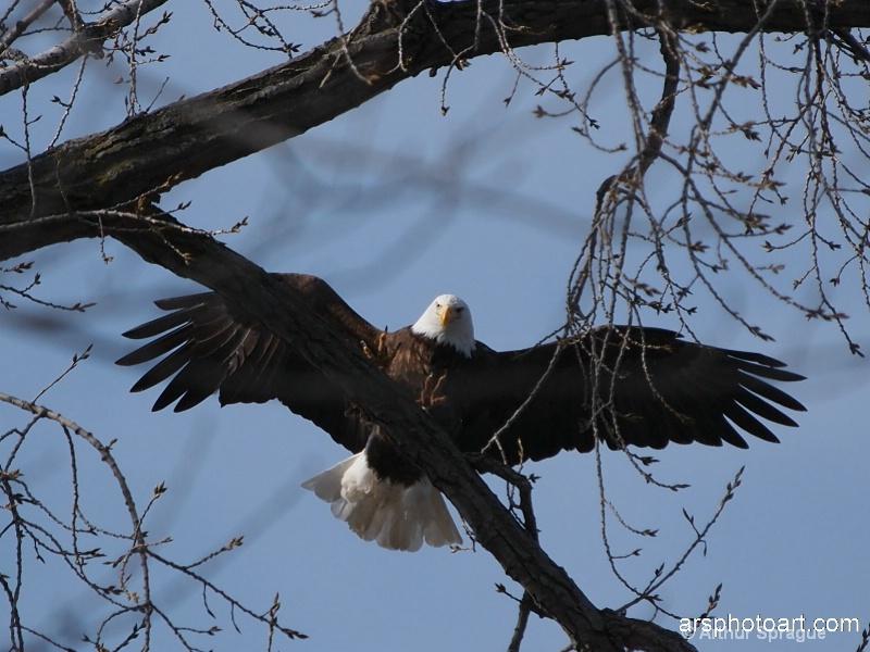 eagle 33